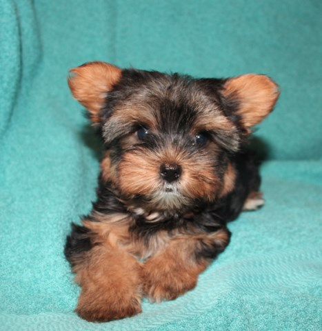 Yorkshire Terrier puppy for sale + 58519