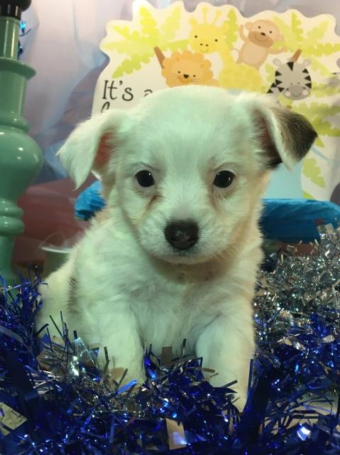 Maltipoo puppy dog for sale in Montana USA