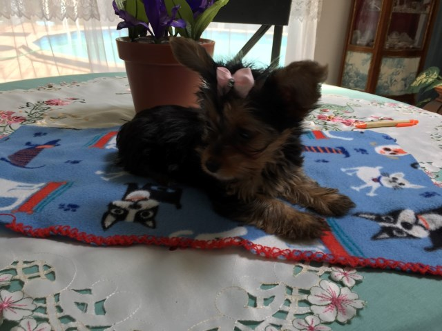Yorkshire Terrier puppy for sale + 54468