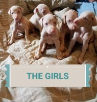 Doberman Pinscher Dogs and Puppies for Adoption
