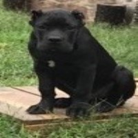 Cane Corso puppies Cane Corso for sale/adoption
