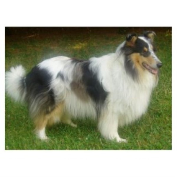 Stunning AKC Blue Merle Rough Collie
