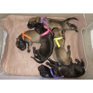 Huge Champion Grand-sired Brindle Or Fawn English Mastiff Puppies