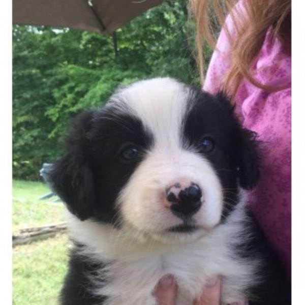 Border Collie puppy dog for sale in Clare, Michigan