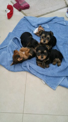Yorkshire Terrier puppy for sale + 52786