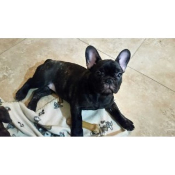 French Bulldog Puppies For Sale French Bulldog for sale/adoption