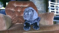 Male and Female Cane Corsos for sale Cane Corso for sale/adoption