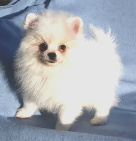 Pomeranian puppy for sale + 56581