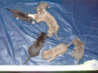 Pitbull Puppies American Pit Bull Terrier for sale/adoption