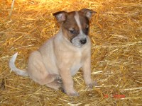Red Male D, registered Heeler or ACD Australian Cattle Dog for sale/adoption