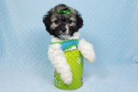 Shihpoo, Yorkipoo, Pomtease puppies in Las Vegas Yorkipoo for sale/adoption