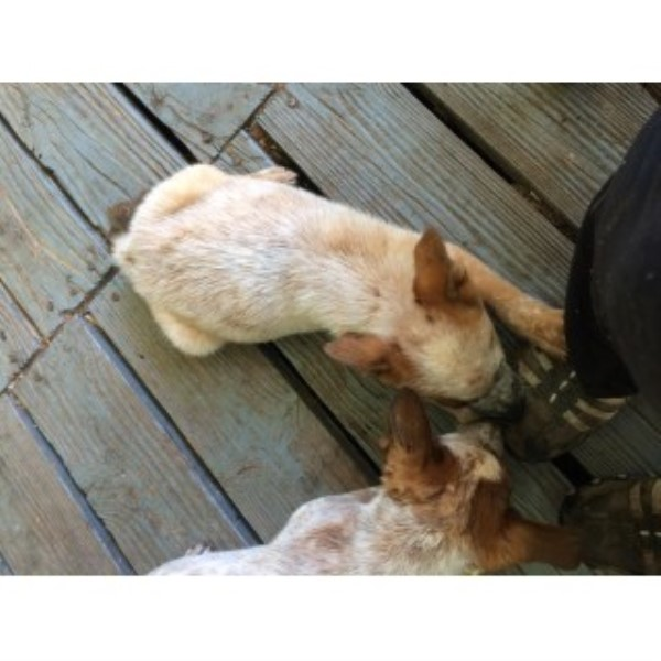 Four Red Heeler Males Australian Cattle Dog for sale/adoption