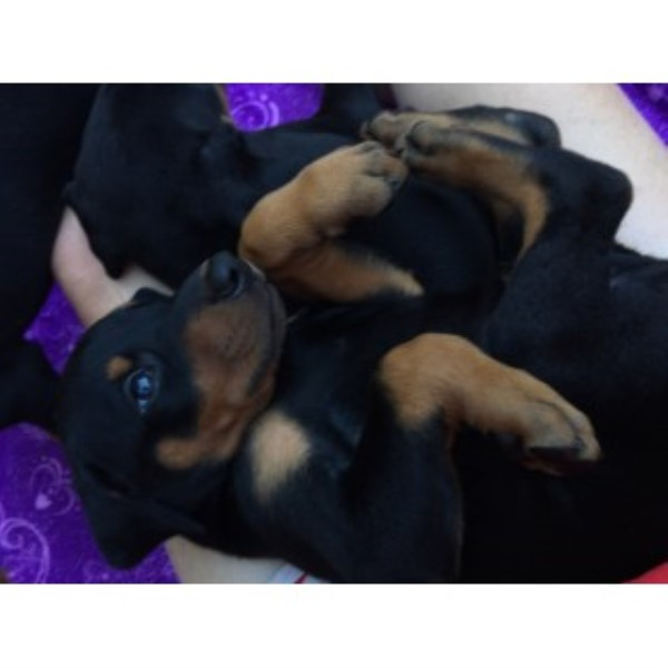 AKC Doberman Pinscher Puppies