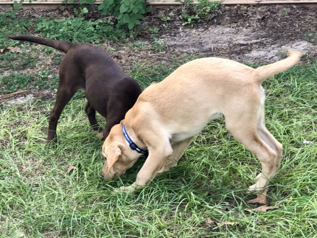Labrador Retriever puppy for sale + 53734
