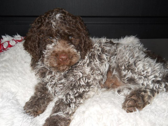 Portuguese Water Dog Puppy Dog For Sale In Waldport Oregon
