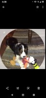 English Springer Spaniel Puppies and Dogs for sale near you