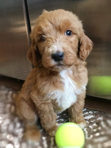Goldendoodle puppy for sale + 54549