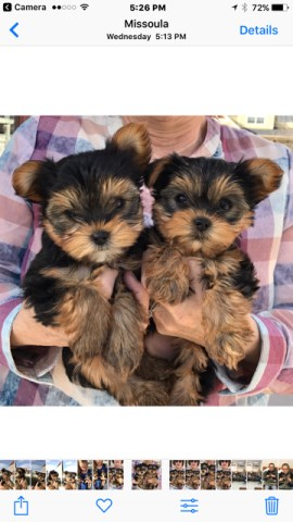 Yorkshire Terrier puppy dog for sale in Missoula, Montana