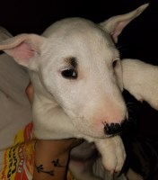 Bull Terrier Dogs and Puppies for Adoption