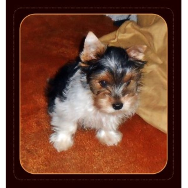 AKC Tiny Parti Yorkie Carries Gold