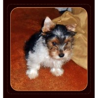 AKC Tiny Parti Yorkie Carries Gold Yorkshire Terrier for sale/adoption