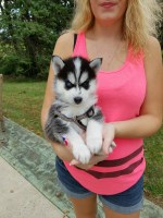 Akc registered Siberian husky puppies Siberian Husky for sale/adoption