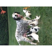 English Setter Dogs and Puppies for Adoption