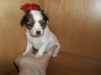 Papillon Dogs and Puppies for Adoption