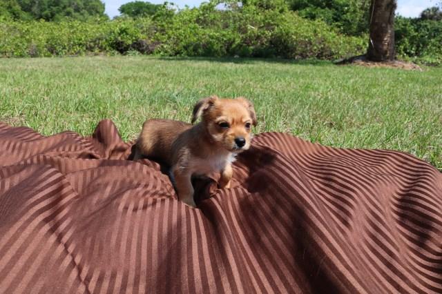 Morkie puppy dog for sale in Punta Gorda, Florida