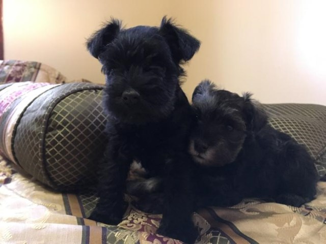 Miniature Schnauzer puppy for sale + 51304