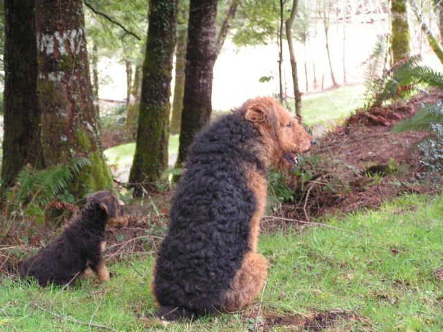 Airedale Terrier puppy dog for sale in Waldport, coastal Oregon, Oregon
