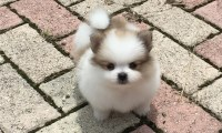 Pomeranian Puppies and Dogs for Sale in Texas