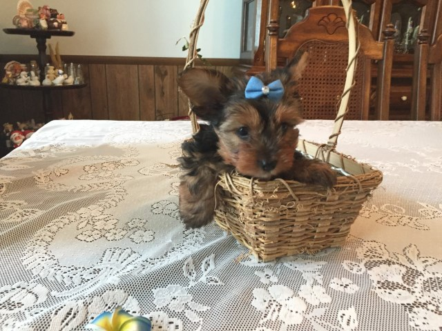 Yorkshire Terrier puppy for sale + 57831