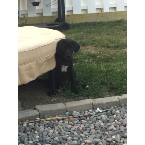 1 AKC Great Dane Puppy For Sale - Female