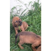 Bloodhound Puppy Female Bloodhound for sale/adoption