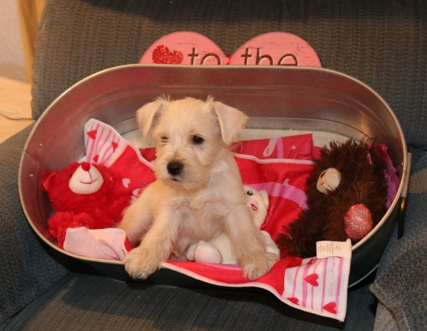 Miniature Schnauzer Puppy Dog For Sale In Modesto California