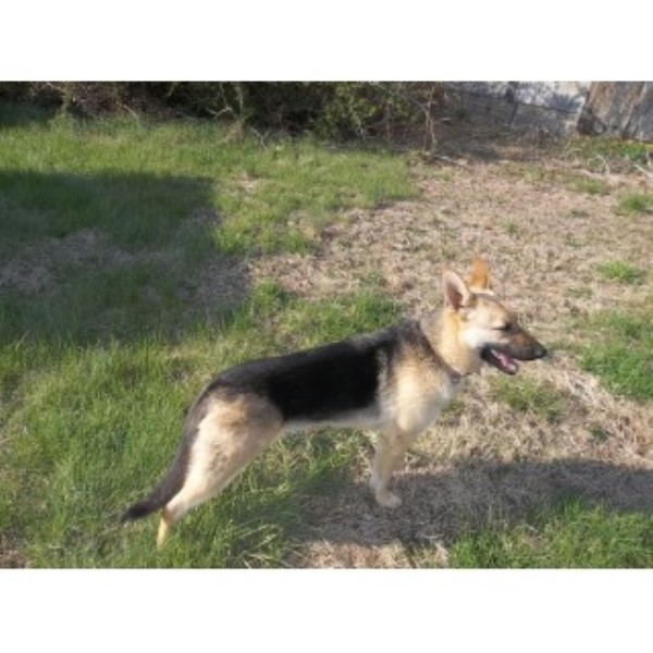 Female German Shepherd German Shepherd Dog for sale/adoption