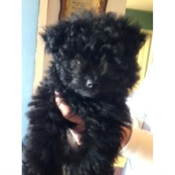 Curly Haired Jet Black Pomapoo Puppy