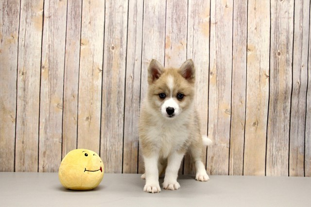 Pomsky puppy dog for sale in Free State South Africa