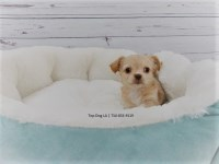 Chihuahua Dogs and Puppies for Adoption