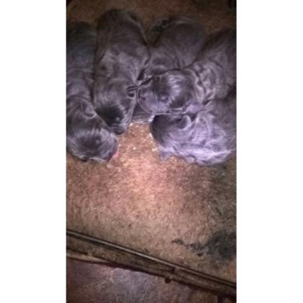 Cane Corso Blue Iccf Registered