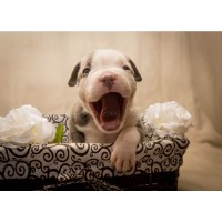 Tungstenbullies Big Krit American Pit Bull Terrier for sale/adoption