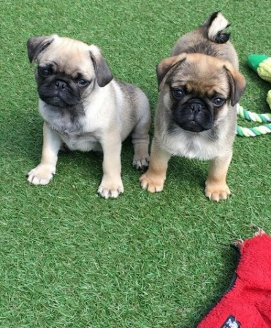 Pug Puppy Dog For Sale In Columbus Ohio