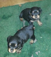 adorable rottweiler puppies Rottweiler for sale/adoption