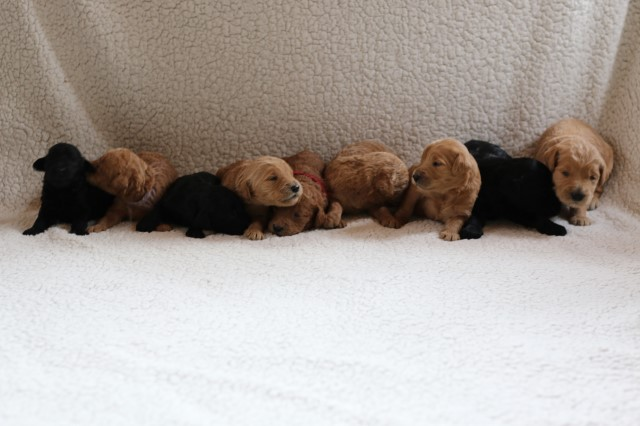 F1B Goldendoodle Puppies (ALL CLAIMED NOW)