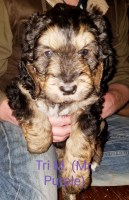 Bernese Mountain Dog Puppies and Dogs for Sale in Ohio