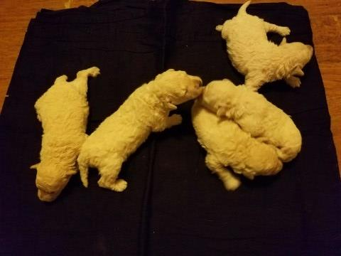 Puli Puppy Dog For Sale In Conroe Texas