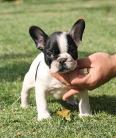The 25+ best French bulldog rescue ideas on Pinterest ...   Black French Bulldog Puppies For Adoption