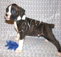 AKC flashy brindle Male Boxer for sale/adoption