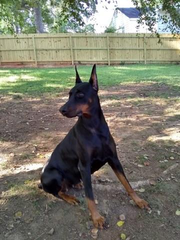 Doberman Pinscher Puppy Dog For Sale In Garner North Carolina